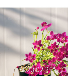 Lapeirousia silenoides EQ706 Seedling 17224