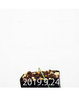 Lapeirousia silenoides EQ706 Seedling 17229