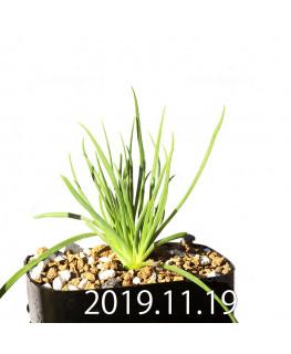 Lapeirousia silenoides EQ706 Seedling 17237