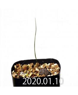 Lapeirousia silenoides EQ706 Seedling 17252