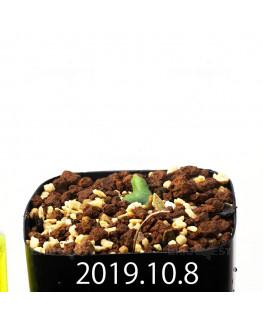 Eriospermum cooperi EQ558 Seedling 17654