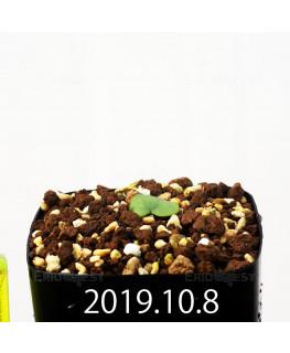 Eriospermum cooperi EQ558 Seedling 17659