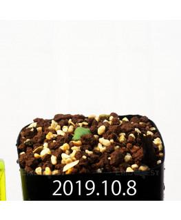 Eriospermum cooperi EQ558 Seedling 17660