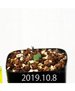 Eriospermum cooperi EQ558 Seedling 17664