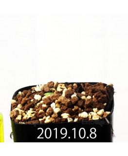 Eriospermum cooperi EQ558 Seedling 17667