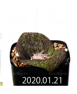 Massonia longipes EQ870 Seedling 19269