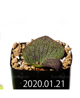 Massonia longipes EQ870 Seedling 19276