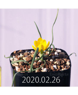 Geissorhiza corrugata EQ705 Seedling 19580