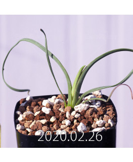 Geissorhiza corrugata EQ705 Seedling 19591