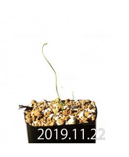 Geissorhiza corrugata EQ705 Seedling 19599