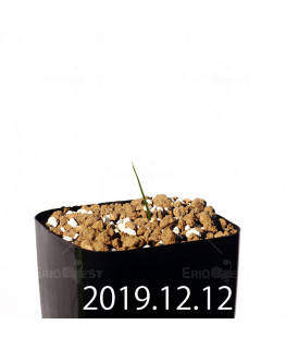 Lapeirousia azurea EQ723 Seedling 19914