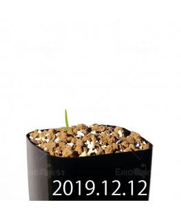 Lapeirousia azurea EQ723 Seedling 19915