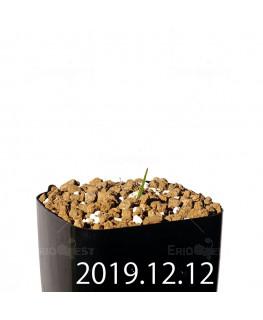 Lapeirousia azurea EQ723 Seedling 19924