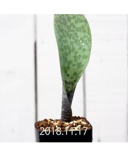 Lachenalia sp. JAA639 Seedling