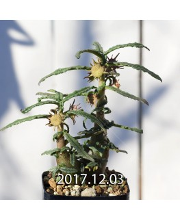 Dorstenia hildebrandtii forma crispum Seedling 5924