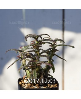 Dorstenia hildebrandtii forma crispum Seedling 5928