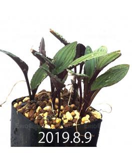 Drimiopsis sp. ES16596 Offset 6260