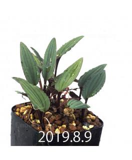 Drimiopsis sp. ES16596 Offset 6266