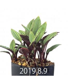 Drimiopsis sp. ES16596 Offset 6277
