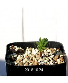 Eriospermum cervicorne MRO99 7162