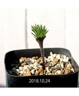 Eriospermum cervicorne MRO99 7163