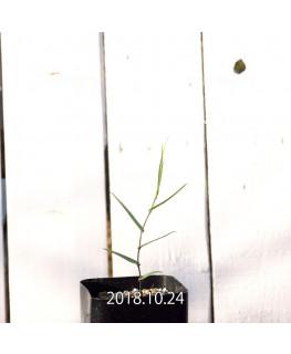 Walleria gracilis Seedling 7801