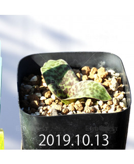 Lachenalia kliprandensis Seedling 7846