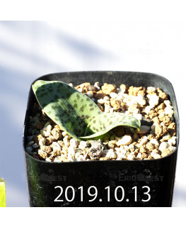 Lachenalia kliprandensis Seedling 7848