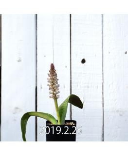 Lachenalia kliprandensis Seedling 7856