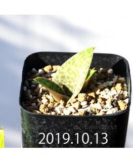 Lachenalia kliprandensis Seedling 7860