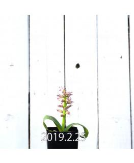 Lachenalia kliprandensis Seedling 7863