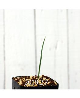 Ornithoglossum viride EQ439 Seedling 8261