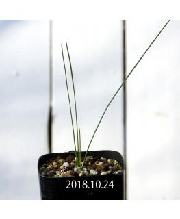 Wurmbea ixioides Seedling 8333