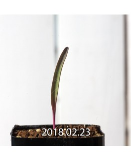 Lachenalia orchioides var. glaucina Seedling 8421