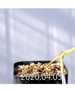 Geissorhiza confusa EQ463 Seedling 8437