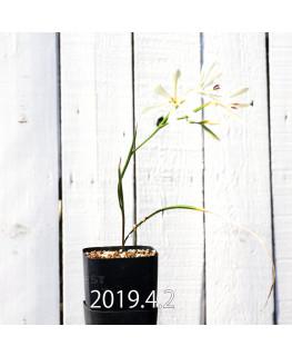 Geissorhiza confusa EQ463 Seedling 8442