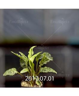 Drimiopsis maculata ES16593 offset