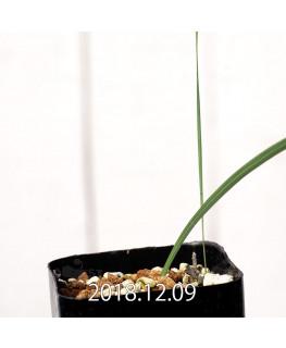 Gladiolus uysiae EQ465 Seedling 8498