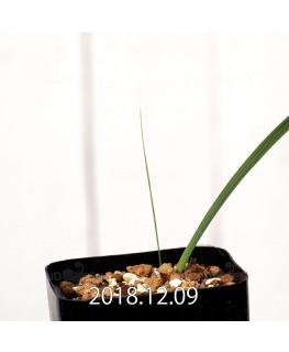Gladiolus uysiae EQ465 Seedling 8500