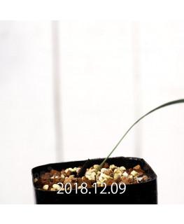 Gladiolus uysiae EQ465 Seedling 8501