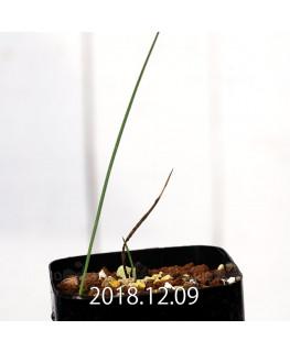 Gladiolus uysiae EQ465 Seedling 8502