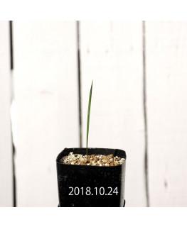 Gladiolus hyalinus EQ471 Seedling 8566