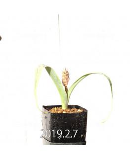Lachenalia hybrid EQ483 Offset 8660