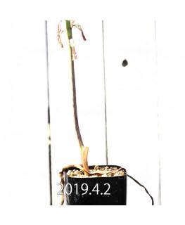 Lachenalia hybrid EQ483 Offset 8661