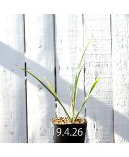 Yucca rigida EQ493 Seedling 8774