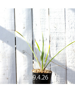 Yucca rigida EQ493 Seedling 8781