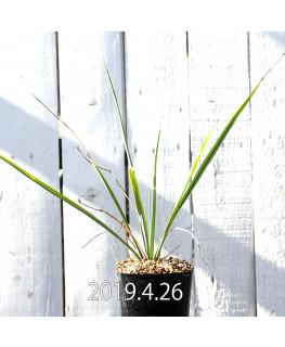Yucca rigida EQ493 Seedling 8783