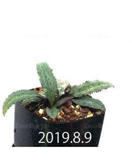 Drimiopsis sp. EQ496 Offset 8823