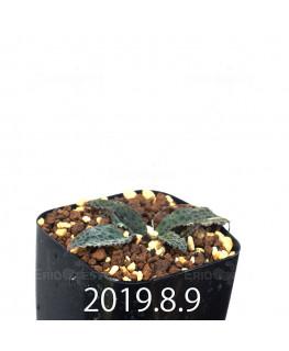 Drimiopsis sp. EQ496 Offset 8824