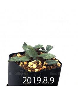 Drimiopsis sp. EQ496 Offset 8827